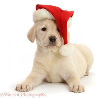 Yellow Labrador pup wearing a Santa hat