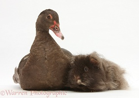 Chocolate Muscovy Duck and shaggy Guinea pig