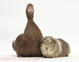 Chocolate Muscovy Duck and Guinea pig