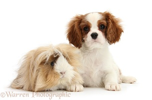 King Charles Spaniel pup and Guinea pig