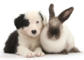 Black-and-white Border Collie pup with colourpoint rabbit