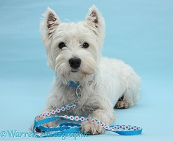 Westie on blue background