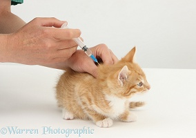 Vet giving a ginger kitten its primary vaccination