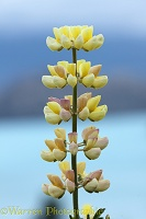 Yellow lupine flower