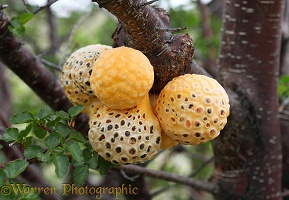 Indian Bread - parasitic fungal fruit
