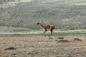 Guanaco on the run