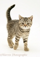 Tabby kitten walking