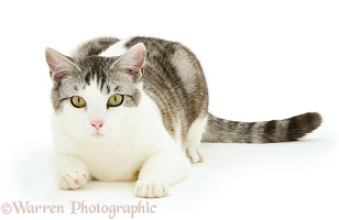 Silver Tabby-and-white cat