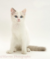 Blue-eyed Ragdoll cat