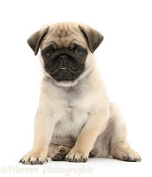 Fawn Pug pup, 8 weeks old, sitting
