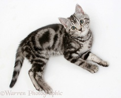 Silver tabby kitten, lying and looking up
