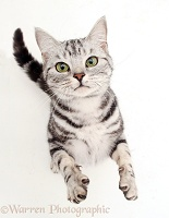 Silver tabby cat reaching up