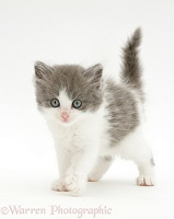 Fluffy grey-and-white kitten