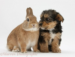 Yorkie-cross pup and rabbit