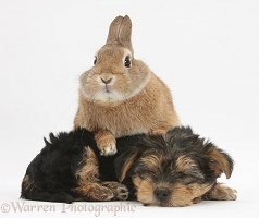 Sleepy Yorkie-cross pup and rabbit