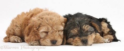 Sleeping Cavapoo pup and Yorkie pup