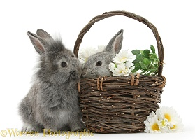 Young Silver Lionhead rabbits in a basket with flowers