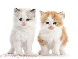 Colourpoint and ginger-and-white kittens