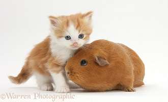 Ginger-and-white kitten with red Guinea pig