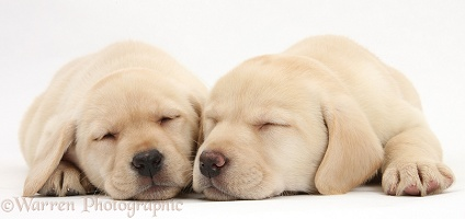 Sleeping Yellow Labrador Retriever pups, 8 weeks old