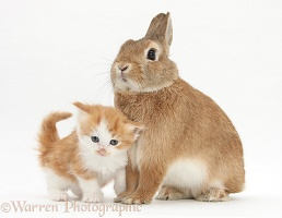 Ginger-and-white kitten with a Sandy rabbit