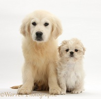Golden Retriever pup with Shih-tzu pup