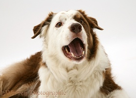 Brown-and-white Border Collie barking