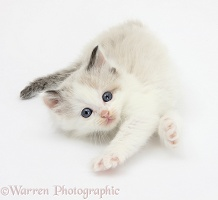 Playful colourpoint kitten