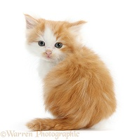 Ginger-and-white kitten looking over its shoulder