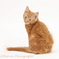 Ginger kitten, looking over his shoulder