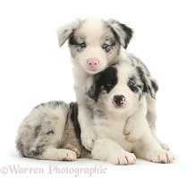 Two cute merle Border Collie pups