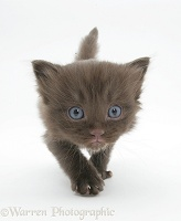 Chocolate kitten walking forward