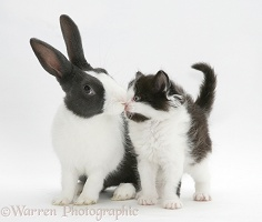 Kitten and rabbit kissing