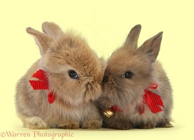Two baby Lionhead-cross rabbits wearing bells