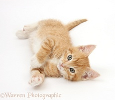 Ginger kitten lying on his side