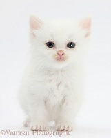 Poor little white kitten with weepy eyes