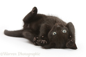 Black kitten, 7 weeks old, rolling on its back