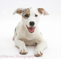 Merle-and-white Border Collie-cross pup