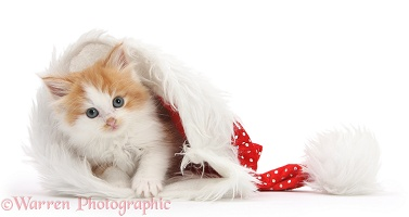 Ginger-and-white kitten in a Santa hat