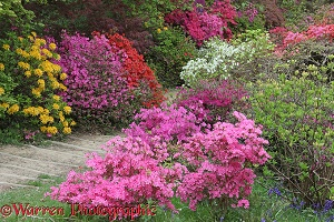 Colourful Azalea flowers