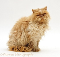 Dishevalled Cream Persian male cat