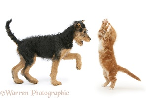 Airedale Terrier pup and ginger kitten in playful confrontation