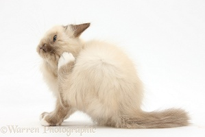Birman-cross kitten, scratching