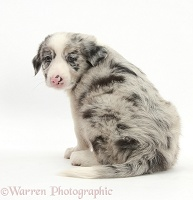 Merle Border Collie puppy