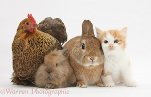 Chicken, kitten and bunny rabbits