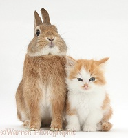 Ginger-and-white kitten and rabbit
