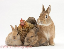 Chicken and bunny rabbits