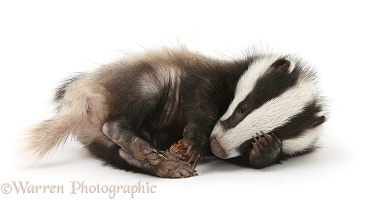 Playful young Badger with a fir cone
