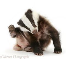 Young Badger scratching himself