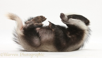 Two playful young Badger